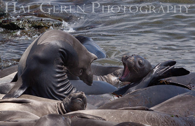 Elephant Seals San Simeon, California 1305C-ES17