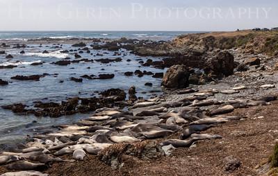 Elephant Seals San Simeon, California 1305C-ES25