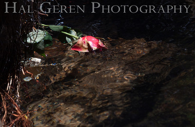 A Memorial Rose found in a Mountain Creek Lee Vining, California 1310A-LVC20M