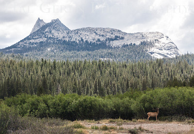 Mule Deer (Odocoileus hemionu) in the Touloumne River Valley Yosemite, California 1207S-MDITRV