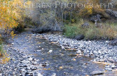 Deer at Alger Creek Silver Lake Eastern Sierra, California 1110S-ACD1