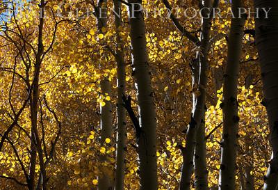 Sunlight through Aspen Aerie Crag Eastern Sierra, California 1110S-ACA3
