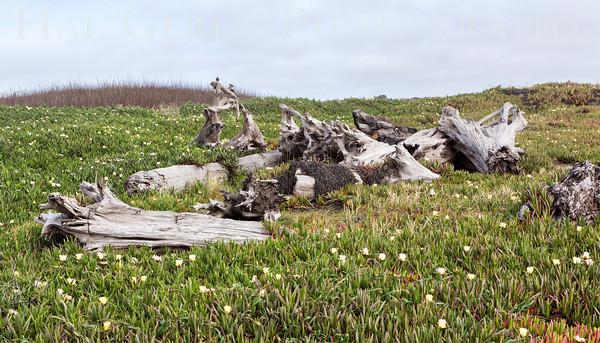 Driftwood Mendocino Coast, California 1305M-D1