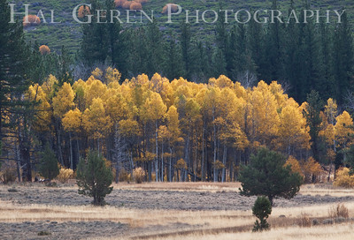 Aspen Grove Northern California 0910G-G2