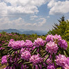 Rhododendron and Blue Ridges