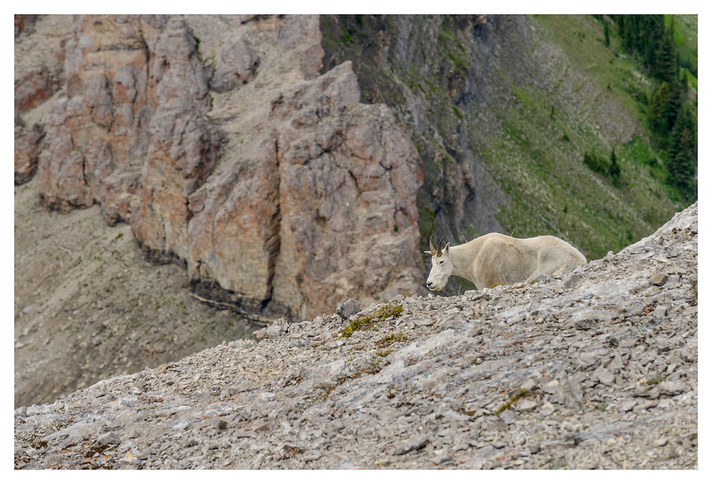 Mountain goat on Crowsnest Mountain