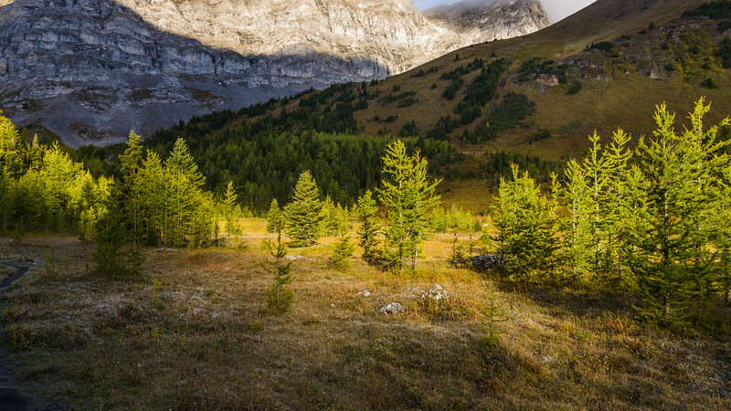 Larches in the cirque