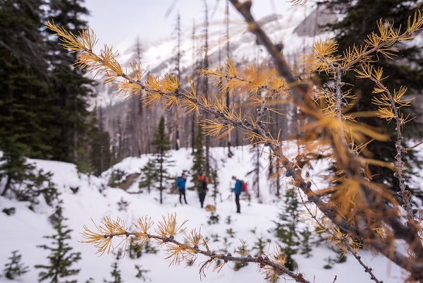 hikers and larch tree..