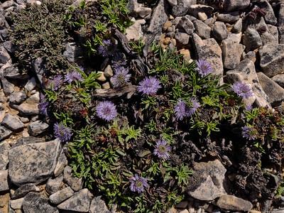 Globularia spinosa subsp. subscaposa