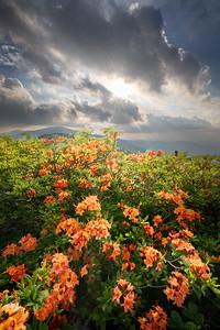 roan-flame-azalea