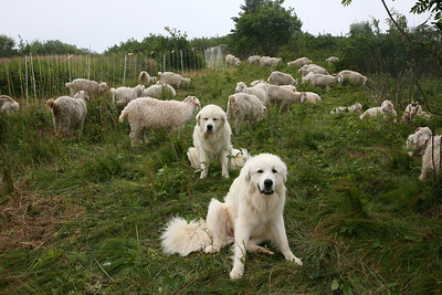 dogs with goats on roan mountain