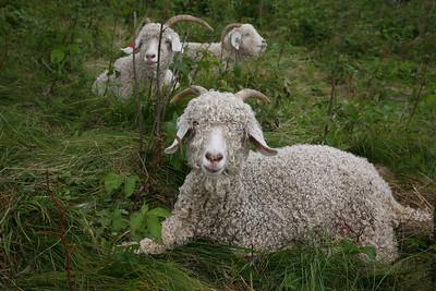 goats on roan mtn (3)