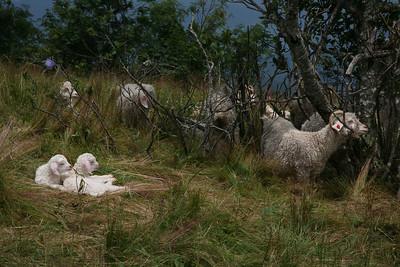 goats on roan mtn