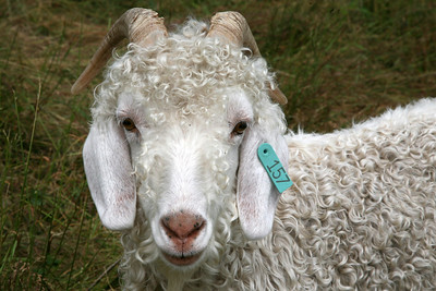 goats on roan mtn (4)