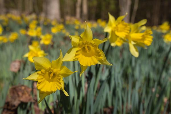 Daffodil Flats