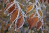 Frozen beech leaves