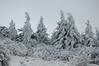 Spruce on Wilburn Ridge
