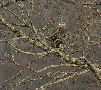 A closer look at the beautiful bald eagle.