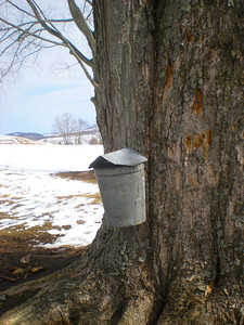 Sap is collected after maple trees are tapped.  It takes approximately 40 gallons of sap to make 1 gallon of syrup!