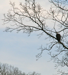 Another view of the bald eagle....