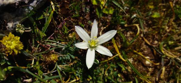 Ornithogalum umbellatum (Star-of-Bethlehem)