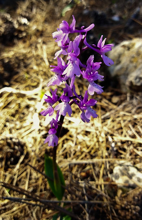 Southern Early Purple Orchid (Orchis olbiensis)