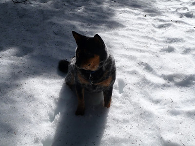 Bean (coolest snow/mountain dog)