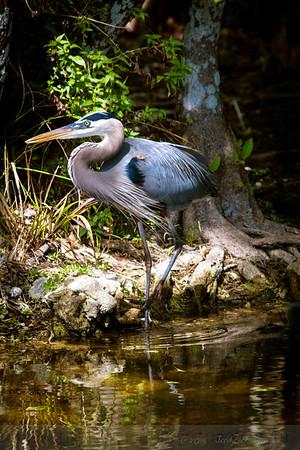 _MG_2235 heron close