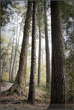 Handsome Tall Trees