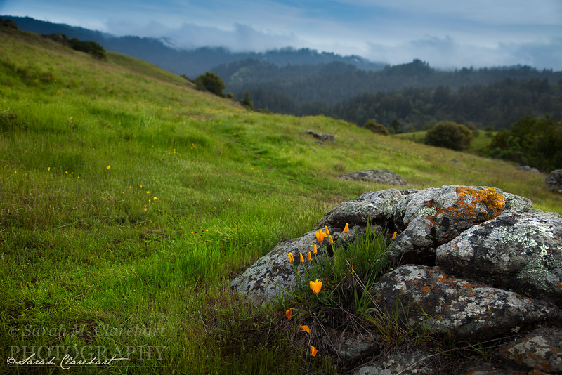 Caliofornia Poppies