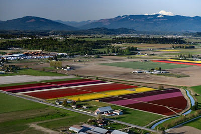 Skagit Tulip fields with Mt. Baker in the background