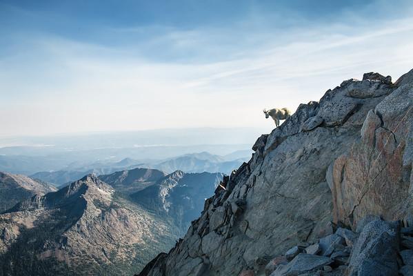 Mountain Goat - Washington