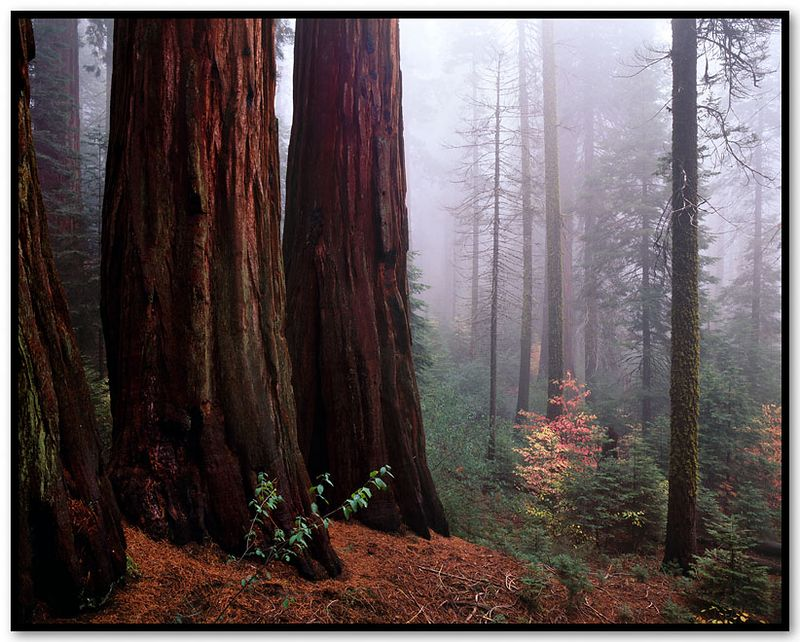 Redwood Mountain Grove I