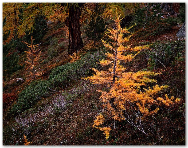 Young Larch (Switzerland)