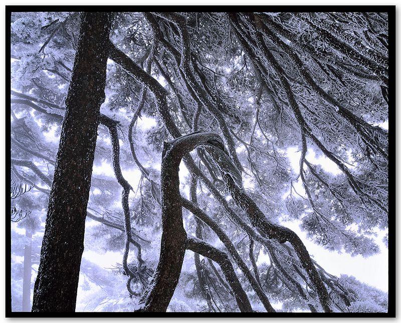 Phoenix Pine