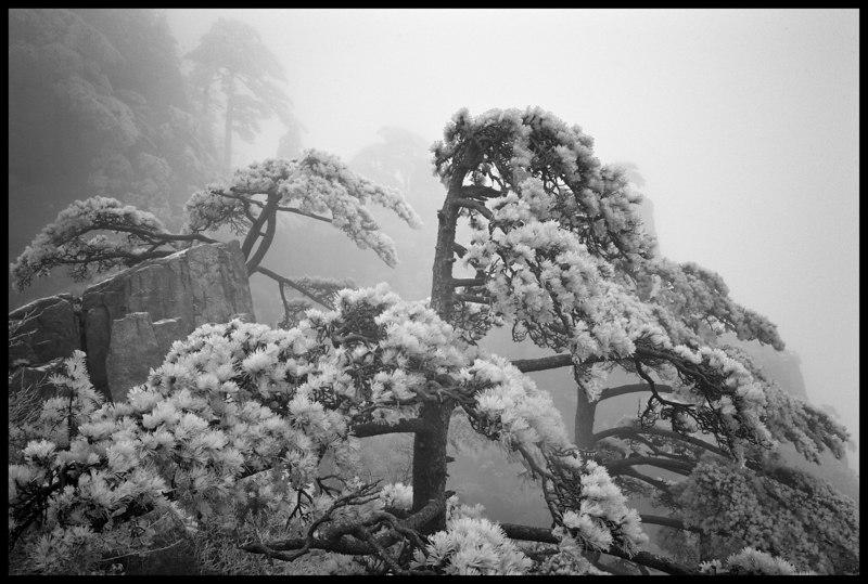 Pine and Fog