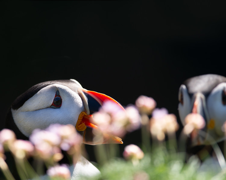 Puffins in Pinks