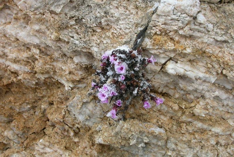 Frozen flowers in Vanoise (France)