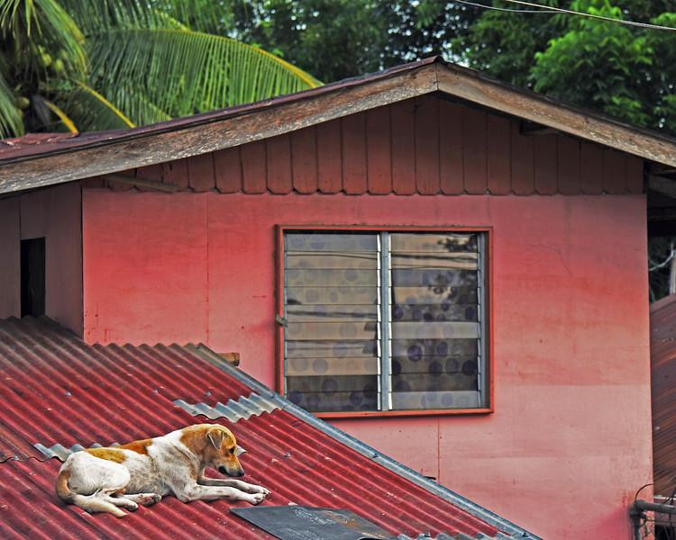 Stray dog on hot tin roof