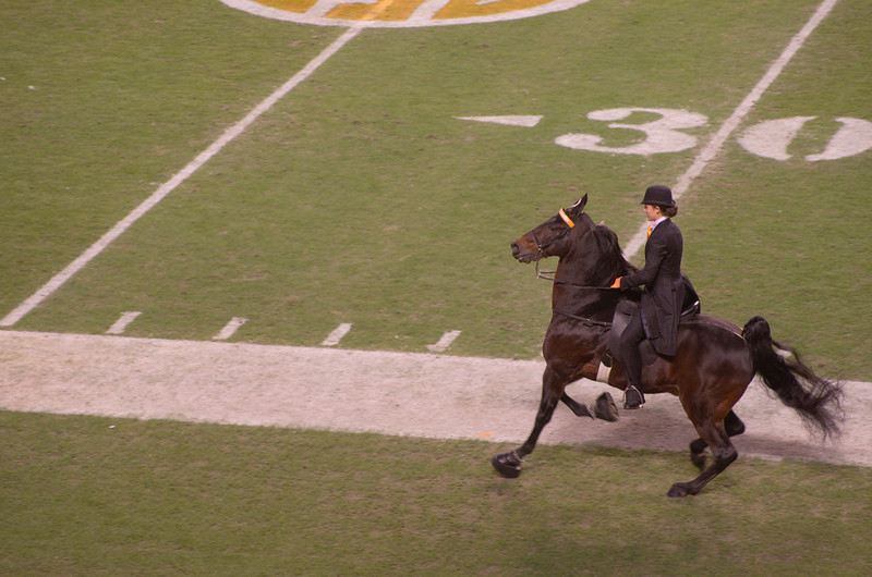 it's a Tennessee Walking Horse!