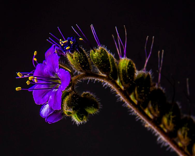 The Purple