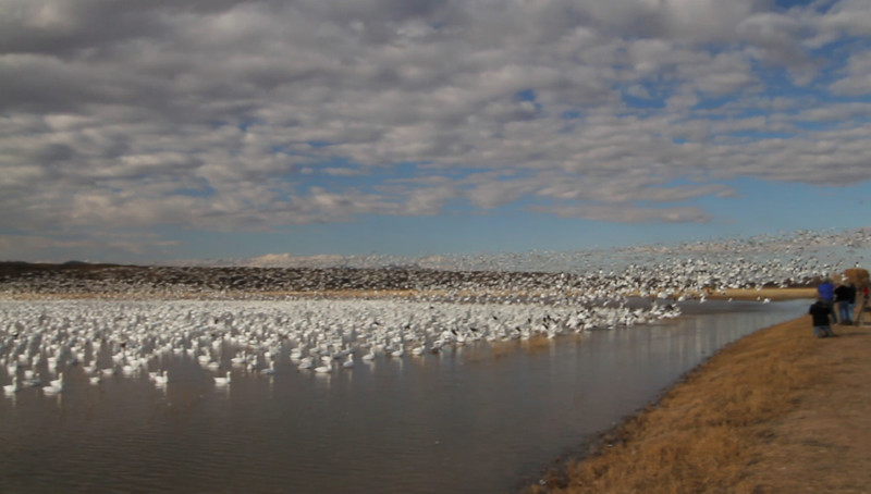 Snow Geese blast off-Bosque Del Apache