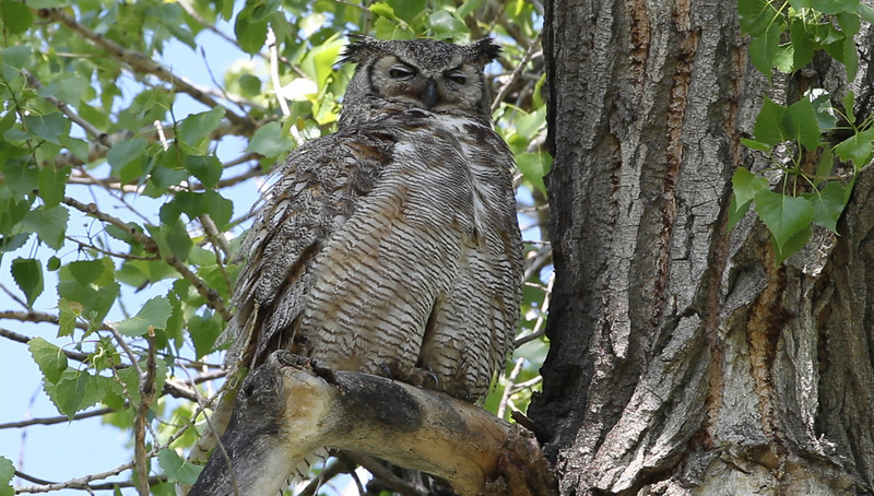 Great Horned Owl adult female stretching and grooming.