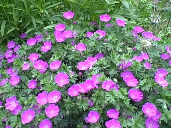 Pink geraniums like Becky would like to get.<br /> *29 seconds long*