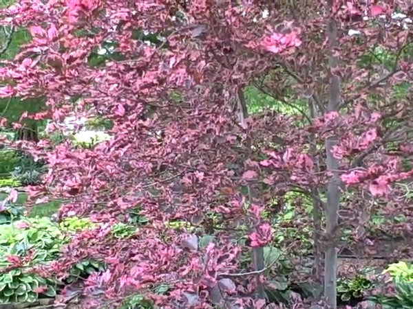Taken at Blue ridge nursery.<br /> This starts off with a colorful tri-colored beech tree with such bright<br /> pink leaves that it appears to be in bloom. There are also two very large cypress trees shading the hosta garden.<br /> *30 seconds long*
