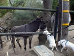 "11/22/06:After a 12 mile hike in the Santa Barbara mountains we came upon a ranch with donkeys who gently sauntered up to us. Whitty greets the donkey & gives it a ""wet willy!"""