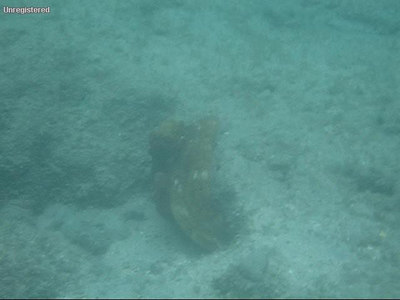 Octopus in Hanauma Bay