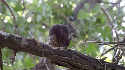 Just fledged Cooper's Hawks