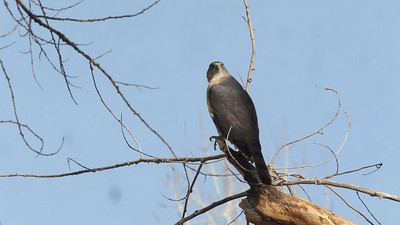 Female Cooper's Hawk Calling