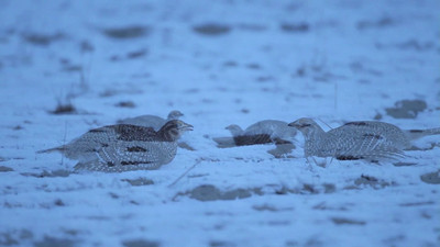 Sharp Tailed Grouse dancing on a lek in SE Montana